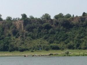 badende Kühe am Donaustrand